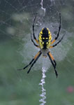 Black and Yellow Argiope or Garden Spider on its web