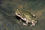 Eastern Chihuahuan Green Toad