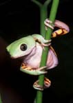 Orange-legged Leaf Frog or Orange-sided Monkey Treefrog