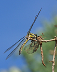 Dragonhunter killing and eating Fawn Darner