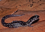 Mississippi Slimy Salamander