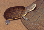 Eastern Chicken Turtle