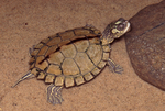 Alabama Map Turtle