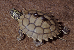 Black-knobbed Map Turtle