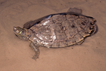 Mississippi Map Turtle or False Map Turtle