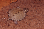 Northern False Map Turtle