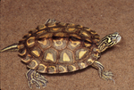 Yellow-blotched Map Turtle