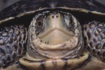 Western Pond Turtle