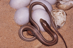 Western Slender Glass Lizard