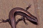 Little Brown Skink or Ground Skink