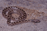 Texas Nightsnake or Chihuahuan Nightsnake