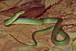 Smooth Greensnake