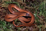 Florida Red-bellied Snake