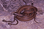 Texas Brownsnake or DeKay's Brownsnake