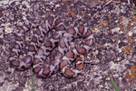 Eastern Milksnake