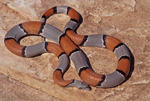 Gray-banded Kingsnake