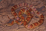 Red Cornsnake