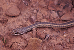 Desert Striped Whipsnake or Striped Whipsnake