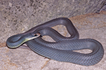 Eastern Yellow-bellied Racer or North American Racer