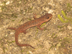 Central Newt or Eastern Newt