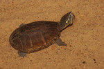 Eastern Musk Turtle or Common Musk Turtle or Stinkpot
