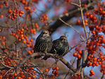 Sturnus vulgaris La Crosse, Wisconsin                  European Starling