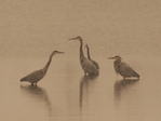 Great Blue Herons with spring snowfall