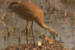 Sandhill Cranes and egg
