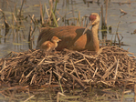 Sandhill Crane mother and colt on nest