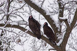 Turkey Vultures and snow