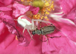 Goldenrod Crab Spider & Rose Chafer Beetle