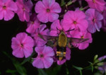 Clearwing Hummingbird Moth caught in flight gathering nectar from a Marsh Phlox bloom.