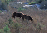 Wild Ponies of Assateague.