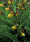 Small Yellow Lady's Slipper Orchid