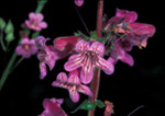 Penstemon pinifolus
