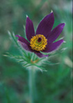 Pasqueflower 'Violet'