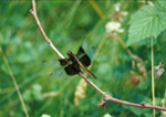 Female Widow Dragonfly