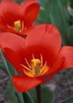 Tulip 'Scarlet Baby'