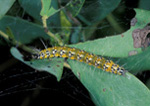 Garden Webworm