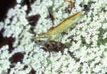 Assassin Bug and prey