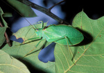 True Katydid / Northern Katydid