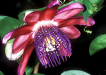 Passionflower 'Ruby Glow'
