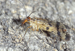 Scorpionfly