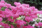 Azalea 'Rosy Lights'