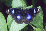 The Great Egg-fly Butterfly