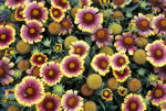 Blanketflower 'Arizona Sun'