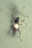 Biting Midge - &quot;No-See-Ums&quot; - Family: Ceratopogonidae