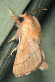 Forest Tent Caterpillar Moth