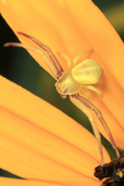 Crab Spider
