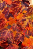 Red Maple 'Burgundy Belle' - fall leaf color